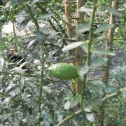 Giant Finger Lime 5-9-12 (3)