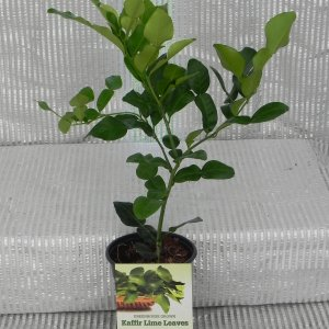 Kaffir Lime Rooted Cutting
