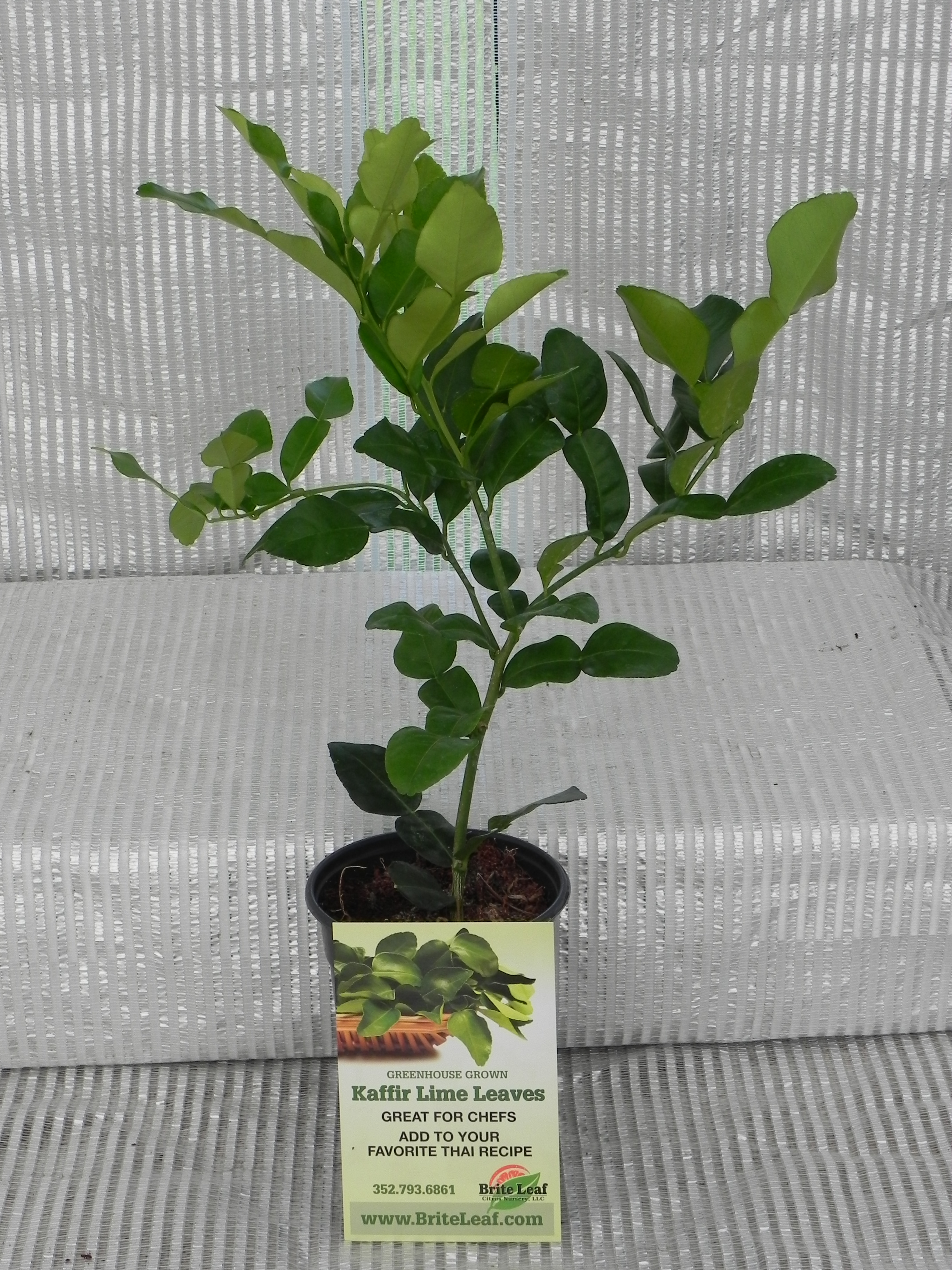 citrus tree how to start a cutting
