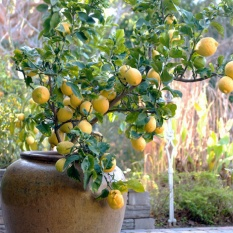 Dwarf Citrus Trees Now