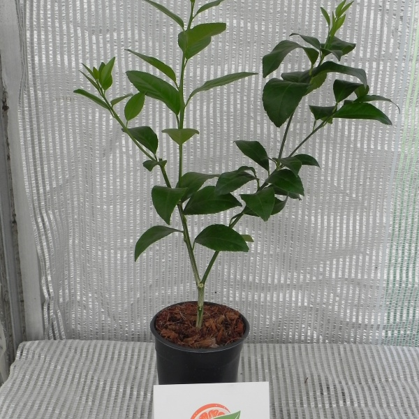 Meyer Lemon Rooted Cutting