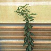 Nagami Kumquat 7-9-14 001