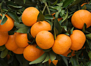 Branches with ripe tangerines