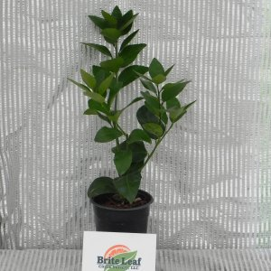 Persian Lime Rooted Cutting (2)