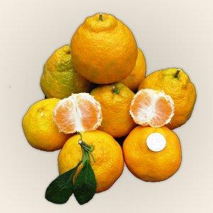 citrus-tangerine-xie-shan-satsuma