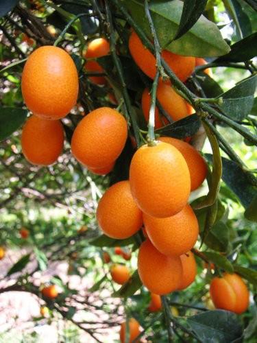 kumquat-nagami