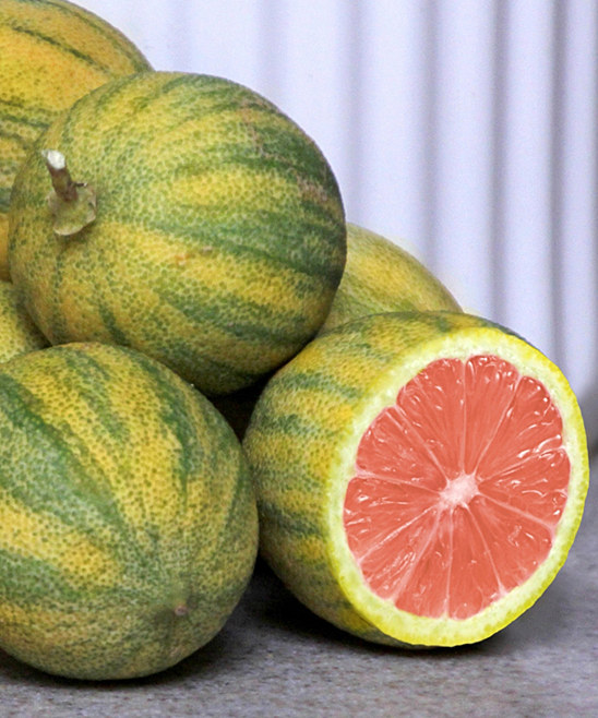 Pink Variegated Lemon Brite Leaf Citrus Nursery