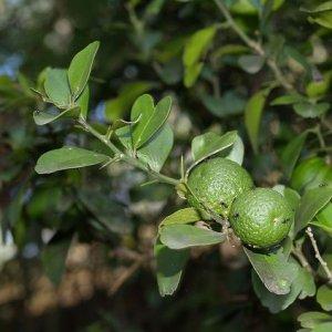 Australian Round Lime