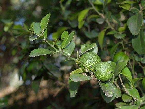 Australian Round Lime Brite Leaf Citrus Nursery
